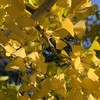 Fall Green Yellow Leafs Palo Alto California By Miss P